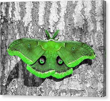 Male Moth Green Canvas Print by Al Powell Photography USA
