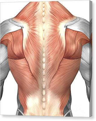 Male Muscle Anatomy Of The Human Back Canvas Print