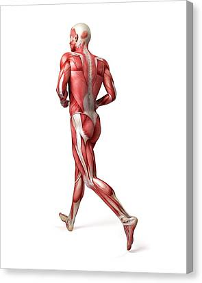 Male Muscular System Canvas Print