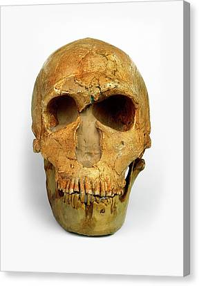 Male Neanderthal Skull Canvas Print