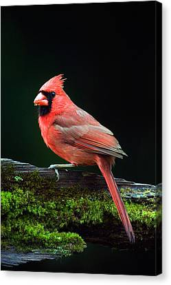 Male Northern Cardinal Cardinalis Canvas Print