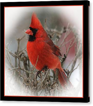 Male Northern Cardinal Canvas Print by John Kunze