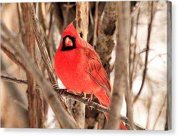 Male Northern Cardinal Canvas Print by Michael Allen