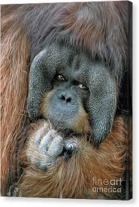 Canvas Print featuring the photograph Male Orangutan  by Savannah Gibbs