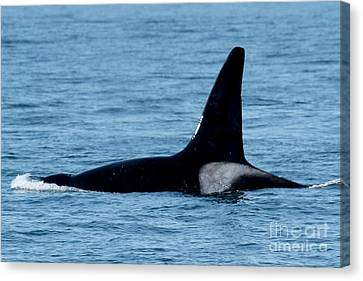Canvas Print featuring the photograph Male Orca Killer Whale In Monterey Bay 2013 by California Views Mr Pat Hathaway Archives