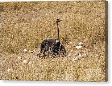 Ostrich Canvas Print - Male Ostrich Sitting On Communal Eggs by Gregory G. Dimijian, M.D.
