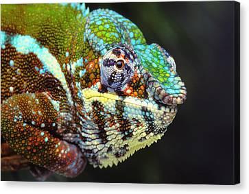 Male Panther Chameleon Furcifer Canvas Print by Thomas Kitchin & Victoria Hurst