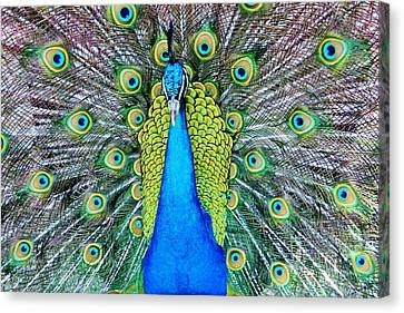 Male Peacock Canvas Print