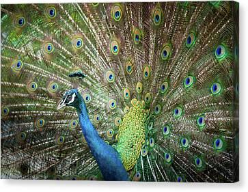 Male Peacock Displaying Canvas Print by Pan Xunbin