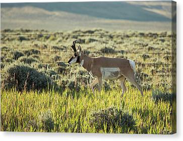Male Pronghorn Canvas Print by Jim West