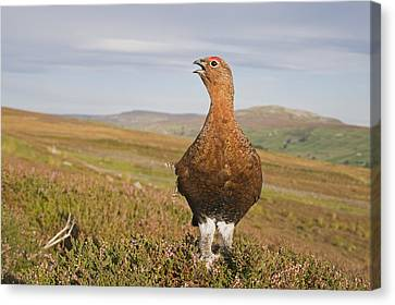 Male Red Grouse Calling On Moorland Canvas Print
