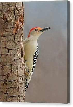 Male Redbellied Woodpecker 1 Canvas Print by Lara Ellis