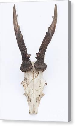 Male Roe Deer Antlers Canvas Print