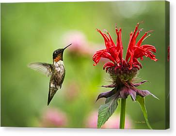 Male Ruby-throated Hummingbird Hovering Near Flowers Canvas Print