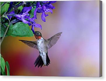 Male Ruby-throated Hummingbird Canvas Print