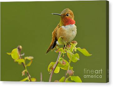 Male Rufous Hummingbird Canvas Print by Tom and Pat Leeson