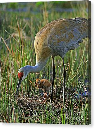 Canvas Print featuring the photograph Male Sandhill With 4 Day Old Chick by Larry Nieland