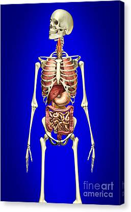 Male Skeleton With Internal Organs Canvas Print by Leonello Calvetti