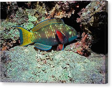 Male Steepheaded Parrotfish Canvas Print by Jeff Rotman