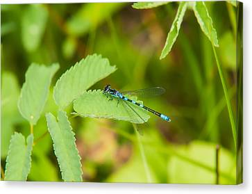 Male Subarctic Bluet Canvas Print by Rich Leighton
