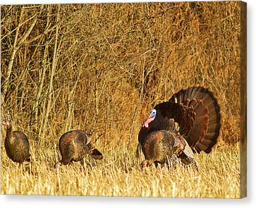Male Tom Turkey With Hens Canvas Print by Chuck Haney