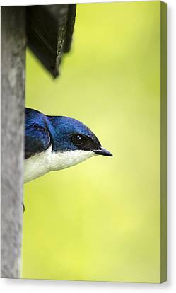 Male Tree Swallow In Nestbox Canvas Print by Christina Rollo