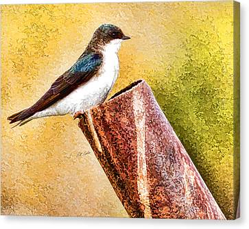 Male Tree Swallow No. 2 Canvas Print