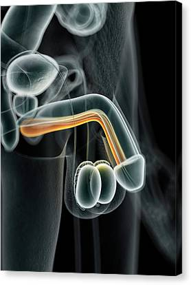 Male Urethra Canvas Print by Sciepro
