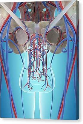 Male Vascular System Canvas Print by Sciepro