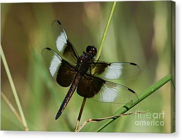 Male Widow Skimmer Dragonfly Canvas Print by Judy Whitton