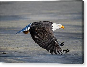 Male Wild Bald Eagle Ready To Land Canvas Print
