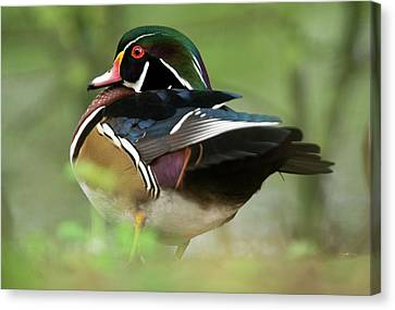 Male Wood Duck Canvas Print by Bob Gibbons