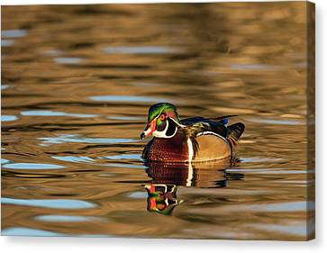 Male Wood Duck Reflected In The Golden Canvas Print
