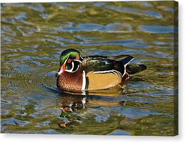Male Wood Duck, Swimming, Crystal Canvas Print