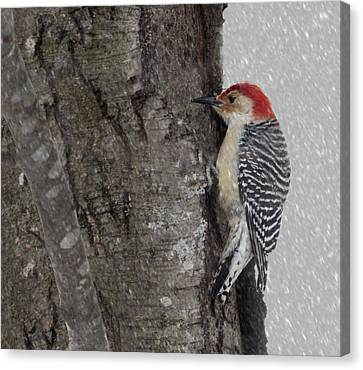 Male Woodpecker Feeding  Canvas Print