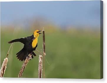 Male Yellowheaded Blackbird Singing Canvas Print by Chuck Haney
