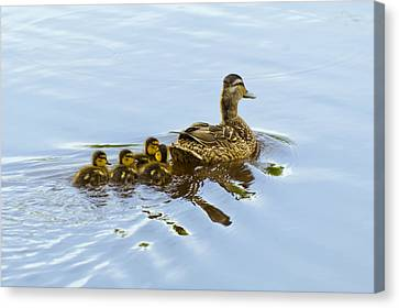 Mallard And Chicks  Canvas Print by Chris Flees
