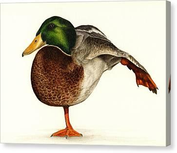 Mallard Duck Canvas Print - Mallard Ballet by Pat Erickson