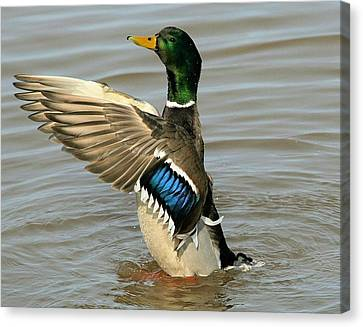 Mallard Drake Wings Canvas Print