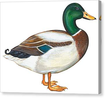 Mallard Duck Canvas Print by Anonymous