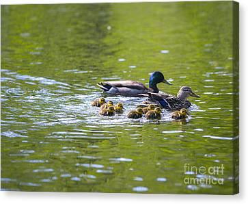Mallard Duck Family Canvas Print by Diane Diederich