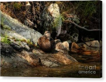 Canvas Print featuring the photograph Mallard Duck Onaping 2 by Marjorie Imbeau