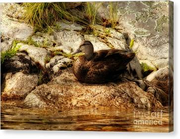 Canvas Print featuring the photograph Mallard Duck Onaping by Marjorie Imbeau