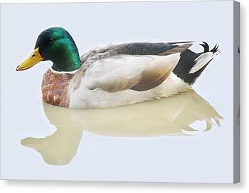 Mallard Duck Canvas Print by Paulette Thomas