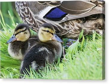 Mallard Ducklings Canvas Print