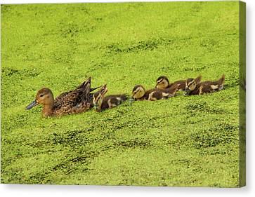 Mallard Female And Ducklings In Algae Canvas Print by Michel Hersen