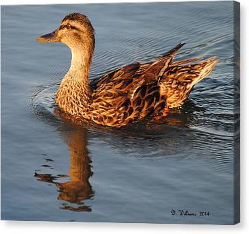 Mallard Hen Swimming Canvas Print