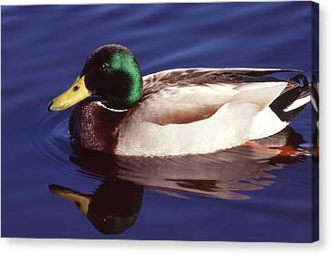 Mallard In The Mirror Canvas Print