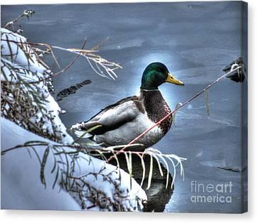 Mallard In Winter Canvas Print by Steven Parker