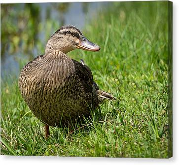 Mallard Canvas Print by John Johnson